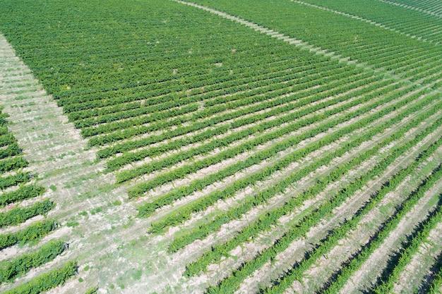 Fileiras verdes de videiras sob o sol