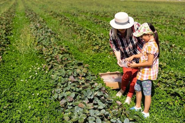 Filha e mãe está trabalhando na horta, morangos colhidos
