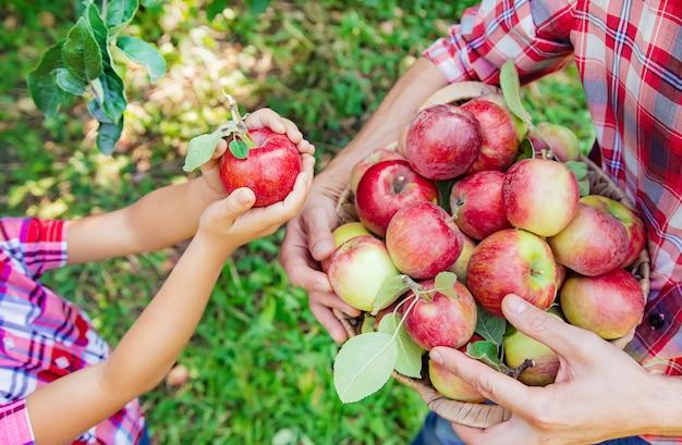 Filha e pai coletam maçãs no jardim