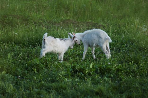 Filhinhos de cabra branca em um campo. cabras batem juntas nas cabeças