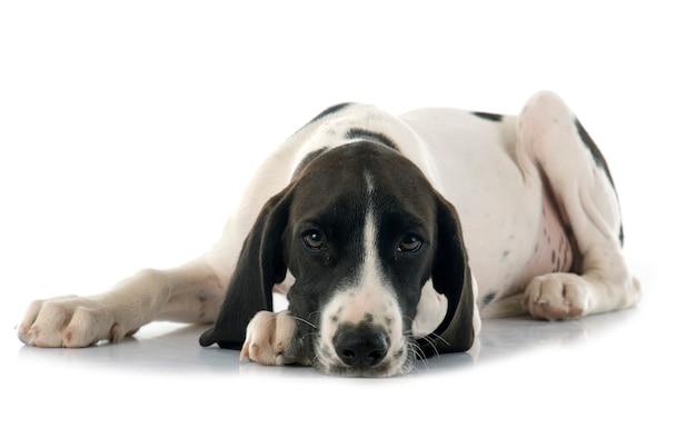 Filhote cachorro, braque, d'auvergne