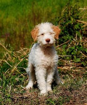 Filhote cachorro, de, lagotto, romagnolo, trufa, cão
