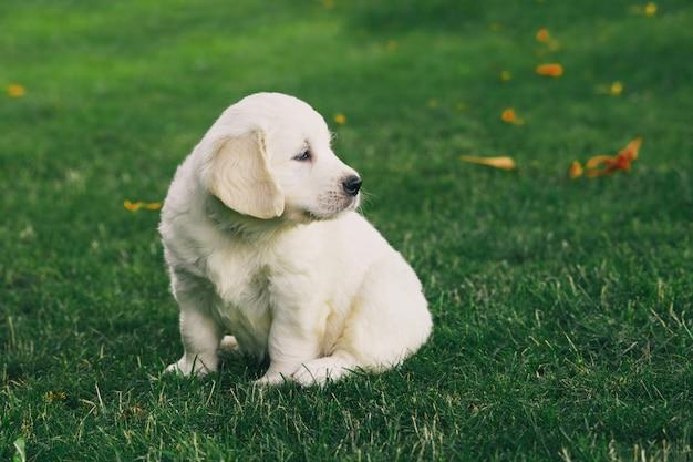 Filhote cachorro, retriever dourado, filhote cachorro, descansos, ligado, natureza
