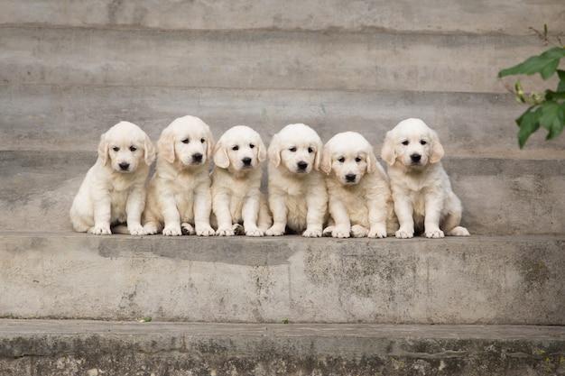 Filhote cachorro, retriever dourado, filhote cachorro, posar, ao ar livre