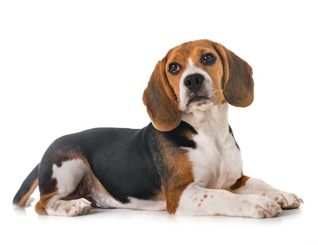 Filhote de beagle em estúdio
