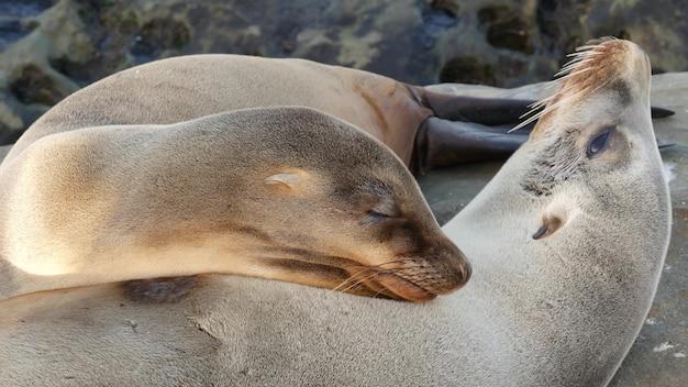 Filhote de bebê fofo, filhote de leão-marinho doce e mãe. focas preguiçosas engraçadas, la jolla, san diego, califórnia, eua