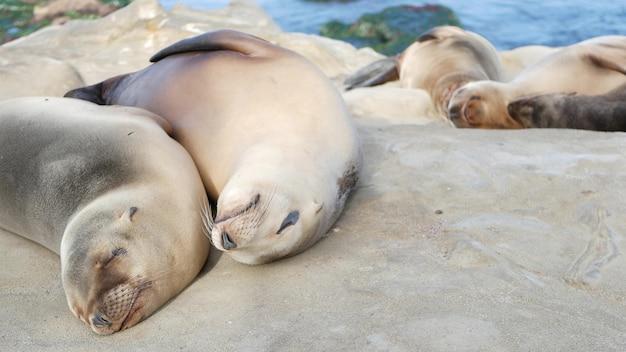 Filhote de bebê fofo, filhote de leão-marinho doce e mãe. focas preguiçosas engraçadas.
