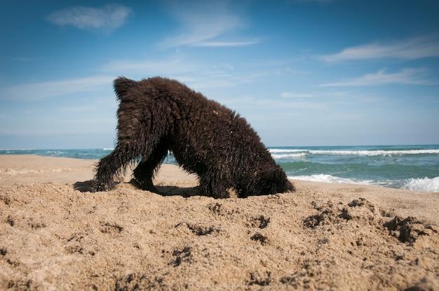 Filhote de bouvier des fandres cavando na praia