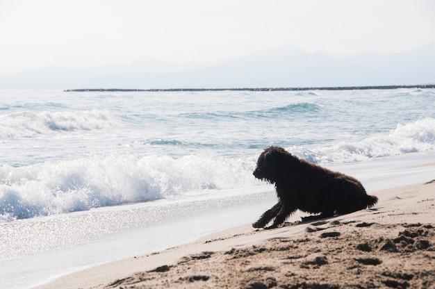 Filhote de bouvier des flandres assistindo as ondas