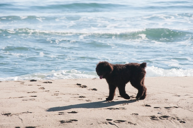 Filhote de bouvier des flandres caminhando ao longo da areia à beira-mar