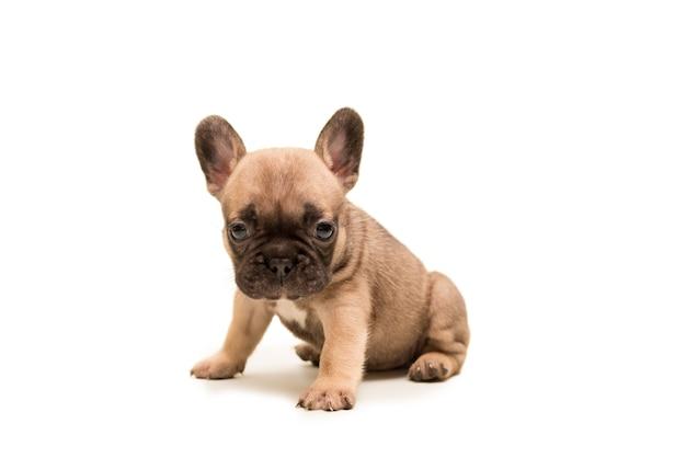 Filhote de bulldog francês fawn contra um fundo branco. cachorrinho fofo.