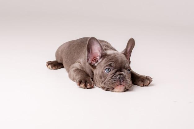 Filhote de bulldog francês isolado no branco