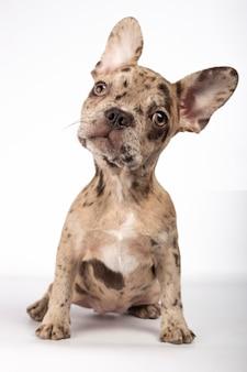 Filhote de cachorro adorável bulldog francês