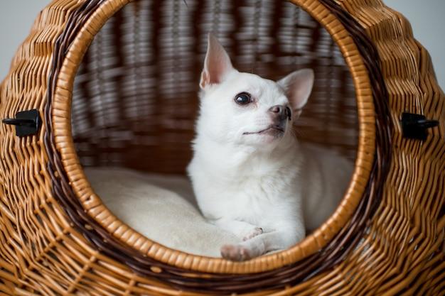 Filhote de cachorro adorável chihuahua, deitado na casa de cachorro