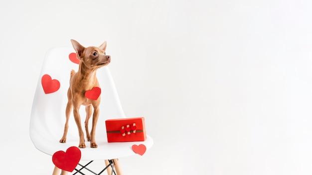 Filhote de cachorro adorável chihuahua em uma cadeira