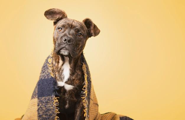 Filhote de cachorro adorável coberto com um cobertor de lã isolado em fundo amarelo