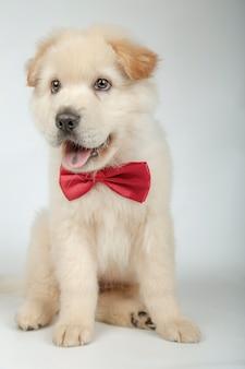 Filhote de cachorro adorável com gravata borboleta