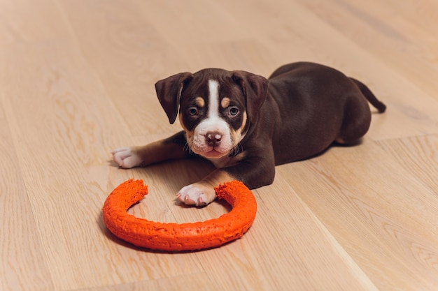Filhote de cachorro american bully azul brincando com um brinquedo