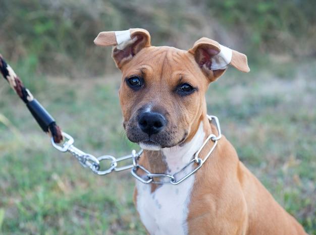 Filhote de cachorro american staffordshire terrier