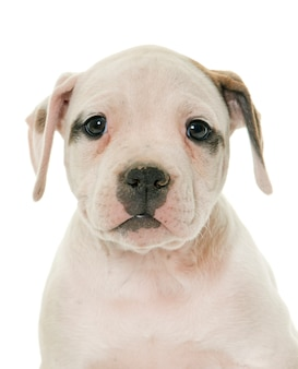 Filhote de cachorro americano bulldog