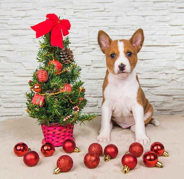 Filhote de cachorro basenji engraçado com ano novo, árvore de natal com presentes