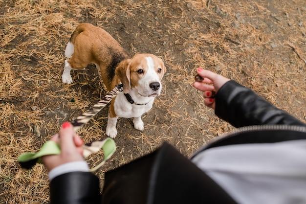 Filhote de cachorro beagle fofo com a coleira em pé no chão e olhando para um lanche gostoso segurado por seu dono durante o frio