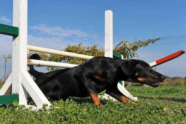 Filhote de cachorro beauceron em agilidade
