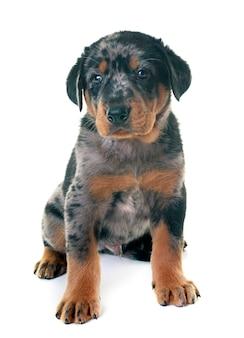Filhote de cachorro beauceron