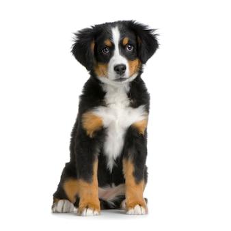 Filhote de cachorro bernese mountain dog