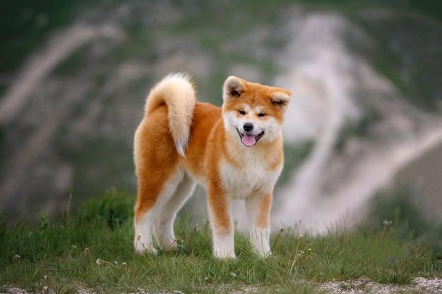 Filhote de cachorro bonito akita inu em uma caminhada
