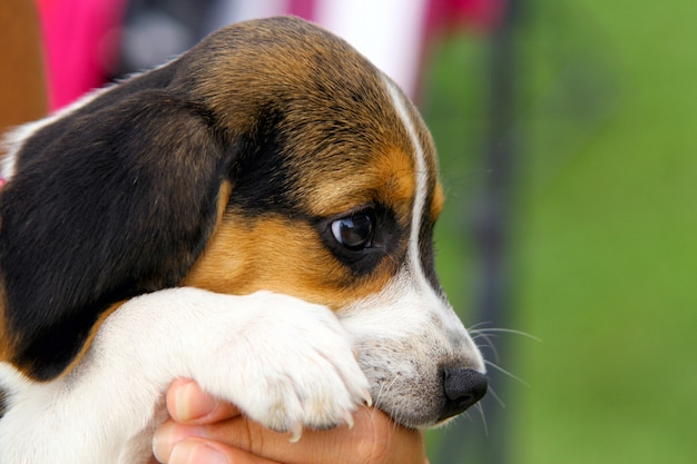 Filhote de cachorro bonito beagle
