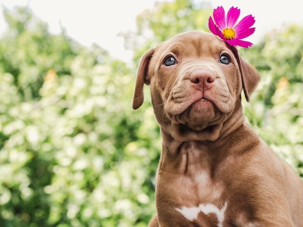 Filhote de cachorro bonito da cor do chocolate com uma flor brilhante na cabeça em um fundo de céu azul em um dia claro e ensolarado.