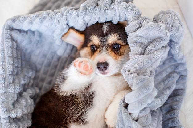 Filhote de cachorro bonito de galês corgi coberto com um cobertor