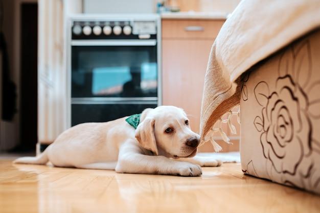 Filhote de cachorro bonito deitado no chão dentro de casa. mastigando parte da mobília.