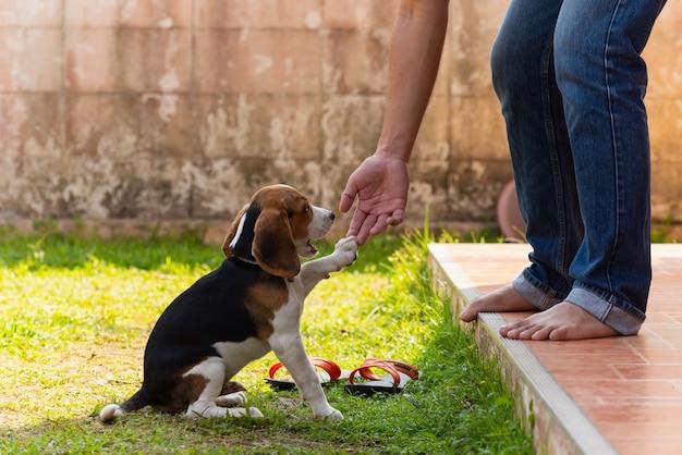 Filhote de cachorro bonito do lebreiro que joga com proprietário