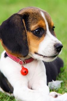 Filhote de cachorro bonito do lebreiro