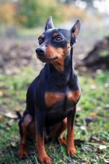 Filhote de cachorro bonito do pincher do anão na grama.