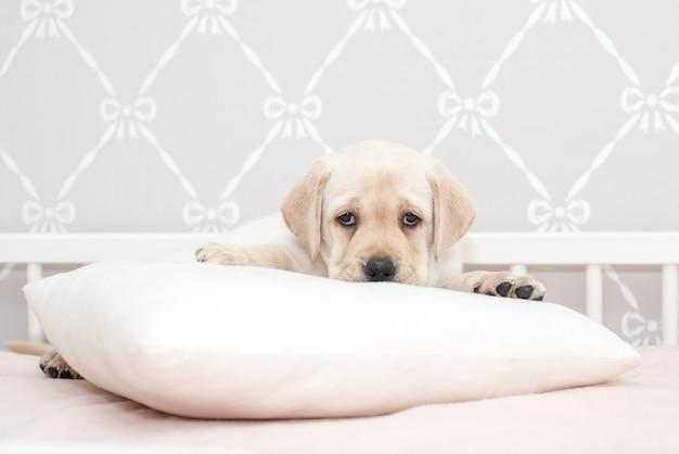 Filhote de cachorro bonito jovem corça na cama e travesseiro.