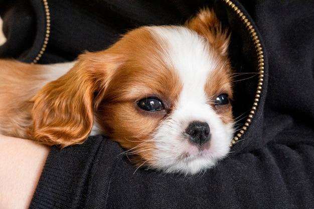 Filhote de cachorro bonito puro-sangue cavalier king charles spaniel