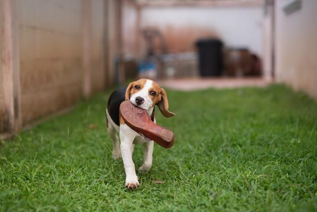 Filhote de cachorro bonito runing no gramado com sapatos