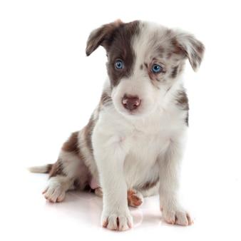 Filhote de cachorro border collie