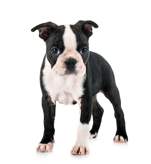 Filhote de cachorro boston terrier