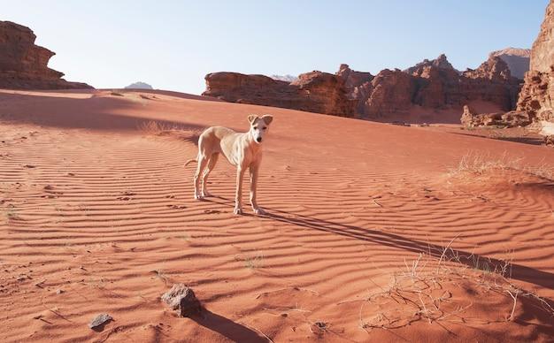 Filhote de cachorro branco cão na areia. dunas no deserto de wadi rum jordânia