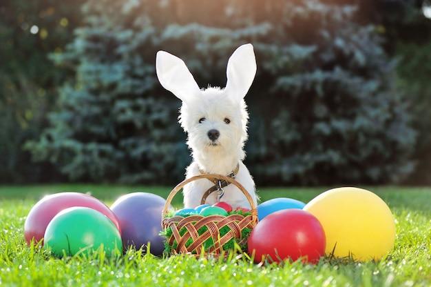 Filhote de cachorro branco com fita de coelho de páscoa com ovos decorativos no gramado