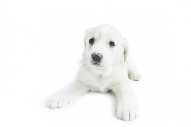 Filhote de cachorro branco com olhos grandes e um olhar triste.