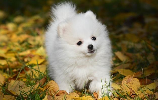 Filhote de cachorro branco da pomerânia caminhando