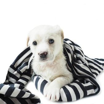 Filhote de cachorro branco envolvido em um pano preto e branco listrado.