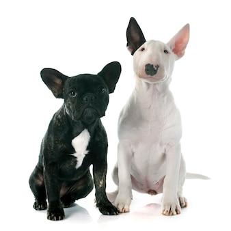 Filhote de cachorro bull terrier e buldogue francês