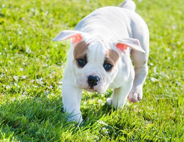 Filhote de cachorro bulldog americano branco engraçado está correndo.