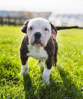 Filhote de cachorro bulldog americano de pelagem tigre de perto